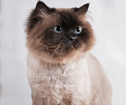 Cat With Kitty Hairstyle